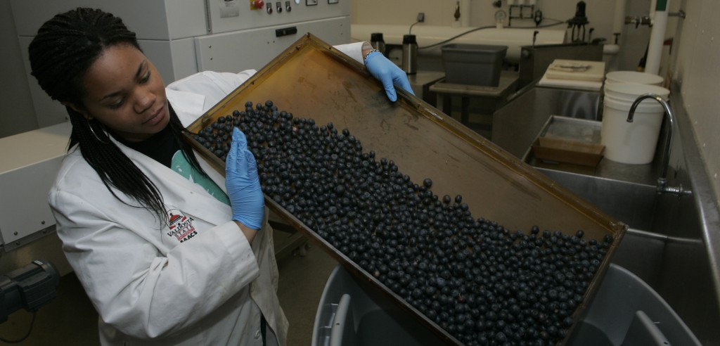 Masters student Kylah Smith collects blueberries after passing through the radio frequency machine behind her--College of Agriculture and Environmental Science Tuesday, May, 19, 2009, in Athens. (Photo/John Amis)