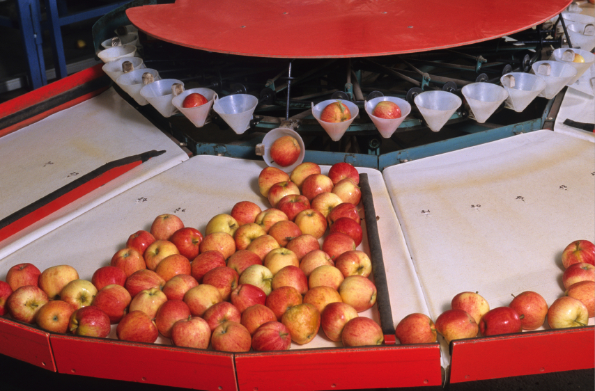 A batch of apples that's been quality-approved moves through the triage level of production.