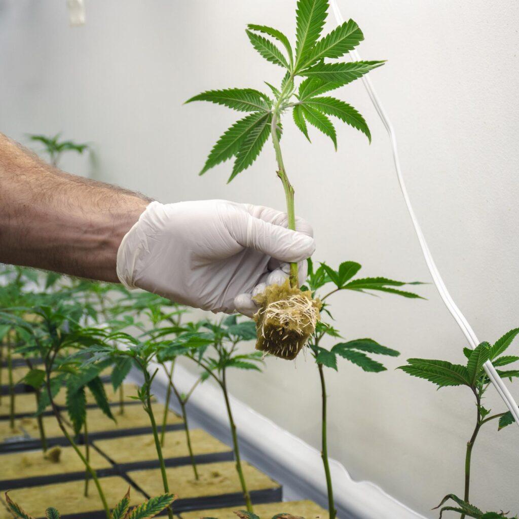 AGCO cannabis dispensary