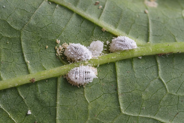 Mealybugs are also referred to by their scientific name, pseudococcidae