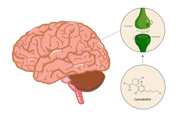 Cannabinoids interact with the endocannabinoid system