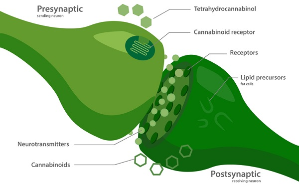 The endocannabinoid system works to maintain homeostasis