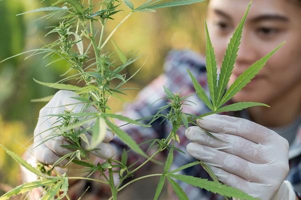cannabis retail licensing